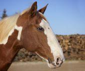 Chiropraktik bei Pferden